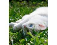 Szeretnék egy rövid szőrű,hófehér,picike kandúr cicát :D